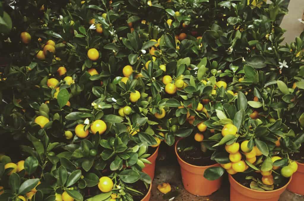 How to grow lemons in your backyard
