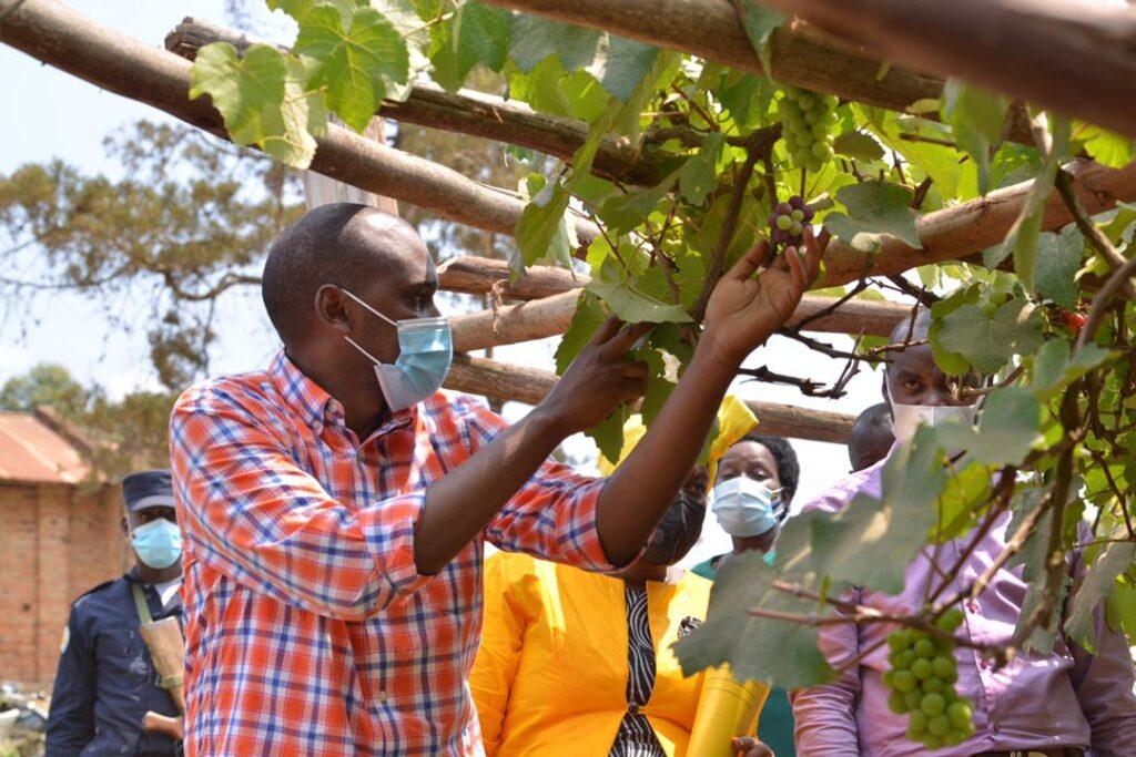 grape farmers
